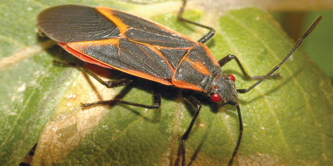 Boxelder Bug Photo credit: William M. Ciesla, Forest Health Management International