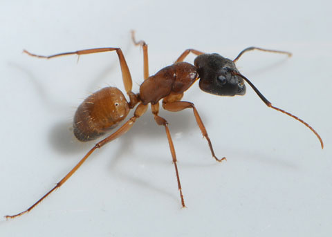 Carpenter Ant Queens Facts amp Appearance  Orkincom