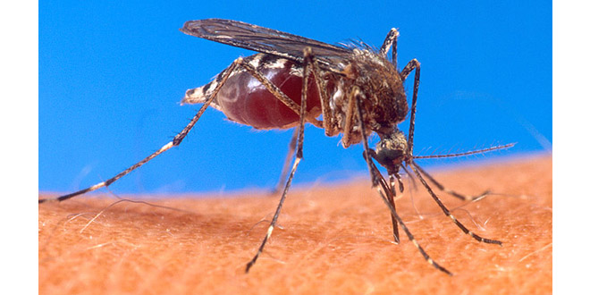 An image of a female mosquito biting a human arm