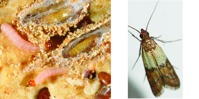 larva and moth, photo credit, respectively: Tim Gibb, Purdue Entomology, Texas A&M Urban Entomology