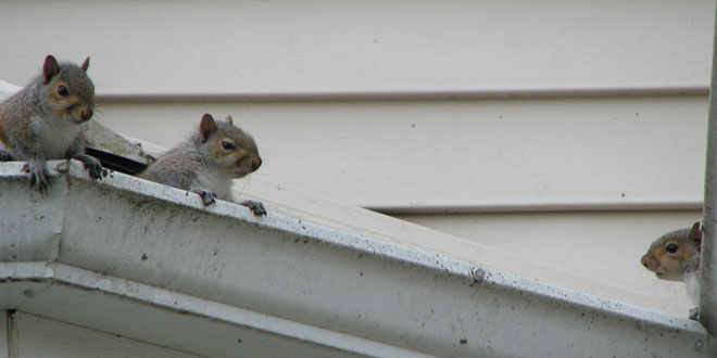squirrels on roof, photo credit: Susan Ware