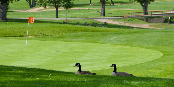 geese on golf course, photo credit: Jessica Lamirand