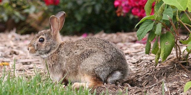 Wild Backyard Animals : rabbit in garden, photo credit Sailing Nomad, flickr